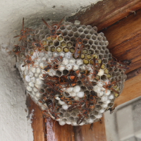 Name:  wasps_nest_1.JPG Views: 8507 Size:  69.2 KB