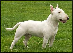 Click image for larger version.  Name:English bull terrier.jpg Views:817 Size:24.7 KB ID:5949