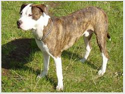 Click image for larger version.  Name:American Pit Bull Terrier.jpg Views:199 Size:26.4 KB ID:5950