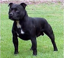 Click image for larger version.  Name:stavanger bull terrier.jpg Views:498 Size:19.3 KB ID:5951